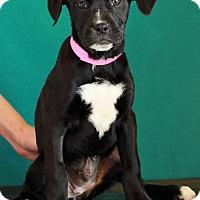 Adopt A Pet :: Lady - Waldorf, MD