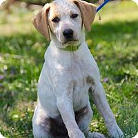 Adopt A Pet :: Paddy - New Oxford, PA