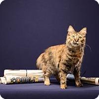 Adopt A Pet :: Tori (kitten) - Cary, NC