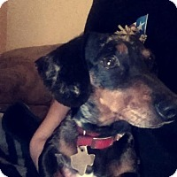 Dachshund Dog for adoption in Pearland, Texas - Sadie Sue