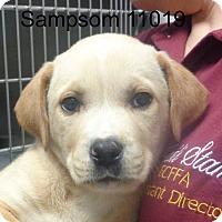 Adopt A Pet :: Sampson - baltimore, MD