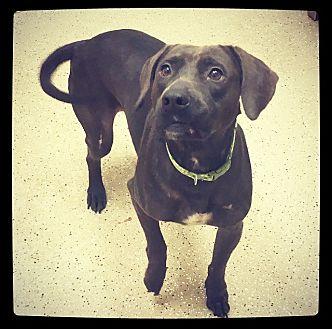 Labrador Retriever Mix Dog for adoption in Grand Bay, Alabama - Alexis *Courtesy Listing*