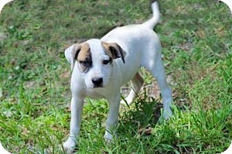 Boxer/Hound (Unknown Type) Mix Puppy for adoption in Franklin, Tennessee - BOXER_HOUND PUPS NEED FOSTER OR FOREVER HOMES