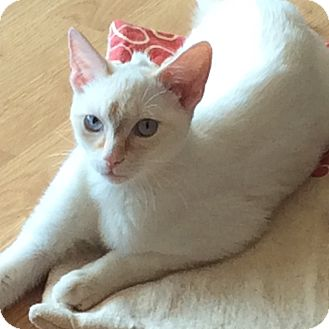 Siamese Cat for adoption in Toronto, Ontario - Mohawk
