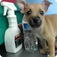 Adopt A Pet :: URGENT ON 10/11  San Bernardin - San Bernardino, CA