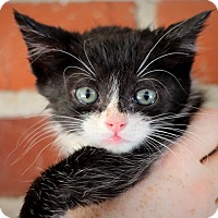Domestic Mediumhair Kitten for adoption in College Station, Texas - Devoe