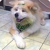 Adopt A Pet :: Kinako - Romoland, CA