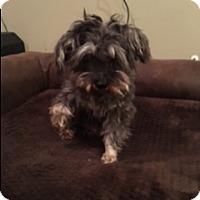 Miniature Schnauzer/Yorkie, Yorkshire Terrier Mix Dog for adoption in Dana Point, California - Jesses