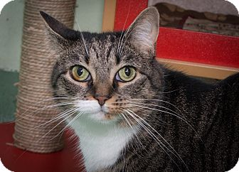 Domestic Shorthair Cat for adoption in New York, New York - Beatrice