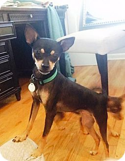 Chihuahua/Terrier (Unknown Type, Medium) Mix Dog for adoption in Westminster, Colorado - Sweetie