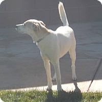Labrador Retriever/Cattle Dog Mix Dog for adoption in Apple Valley, Utah - Marley