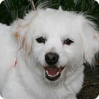 Spaniel (Unknown Type) Mix Dog for adoption in Carlsbad, California - Bernie