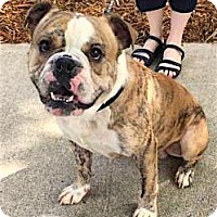 English Bulldog Dog for adoption in Alpharetta, Georgia - Schlomo