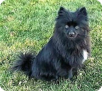Pomeranian Dog for adoption in Fairfax, Virginia - Bianca