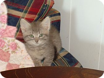 American Shorthair Kitten for adoption in Spotsylvania, Virginia - Wesley