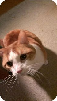 Domestic Shorthair Cat for adoption in Chicago, Illinois - Tadzy