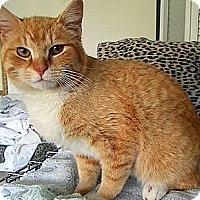 Adopt A Pet :: Nibbles - Alexandria, VA