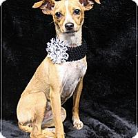 Adopt A Pet :: Chi Chi - Rockwall, TX