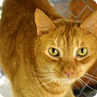Domestic Shorthair Cat for adoption in East Smithfield, Pennsylvania - Scrooge
