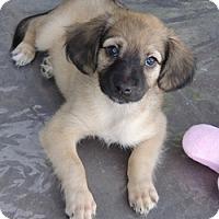 Adopt A Pet :: Aurora - La Habra Heights, CA
