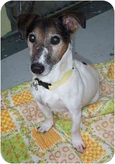 Jack Russell Terrier Dog for adoption in Port Hope, Ontario - Roni