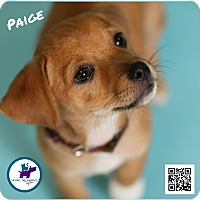 Adopt A Pet :: Paige - Jackson, TN