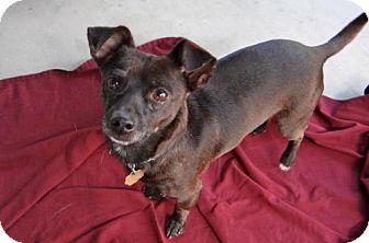 Chihuahua Dog for adoption in Seal Beach, California - Blackie