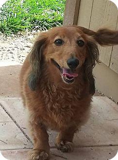 Dachshund Dog for adoption in Henderson, Nevada - Miley