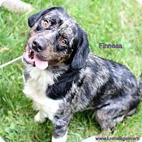 Adopt A Pet :: Finneas - Needs Foster - Bloomington, MN