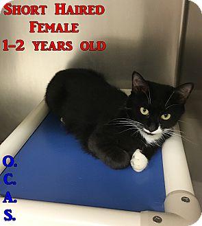 Domestic Shorthair Cat for adoption in Triadelphia, West Virginia - T-7
