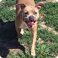Adopt A Pet :: Redbone - Troy, MI