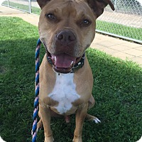 Boxer/Terrier (Unknown Type, Medium) Mix Dog for adoption in Lake Odessa, Michigan - Higbee