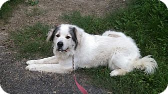 Great Pyrenees Dog for adoption in Lee, Massachusetts - Sugar Bear - in NY