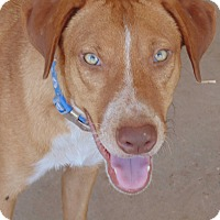 Shepherd (Unknown Type) Mix Dog for adoption in Las Cruces, New Mexico - Merlin
