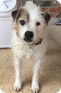 Jack Russell Terrier Dog for adoption in Austin, Texas - Elvis in Austin