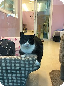 Domestic Shorthair Cat for adoption in Westbury, New York - Xena