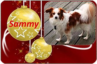Papillon Dog for adoption in Rootstown, Ohio - Sammy