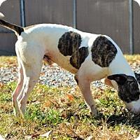 Adopt A Pet :: Cesar - Lincolnton, NC