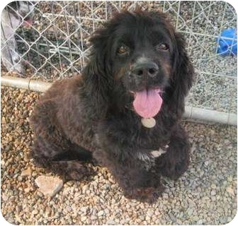 Cocker Spaniel Dog for adoption in Chandler, Arizona - Scamp