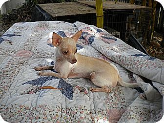 Chihuahua Dog for adoption in Fort Lauderdale, Florida - Pinky
