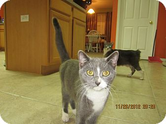 Domestic Shorthair Cat for adoption in Bunnell, Florida - Gracie