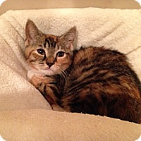 Domestic Shorthair Cat for adoption in Mount Laurel, New Jersey - Calista