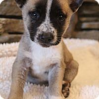 Adopt A Pet :: Coda - Bedminster, NJ