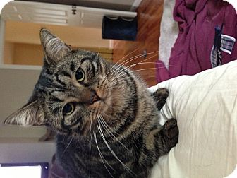 Domestic Shorthair Cat for adoption in Berkeley Hts, New Jersey - Sammy