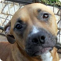 Adopt A Pet :: Brooke - Oakley, CA