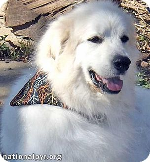 Great Pyrenees Dog for adoption in Beacon, New York - Samson in OH