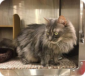 Domestic Longhair Cat for adoption in Colmar, Pennsylvania - Venus