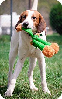 Hound (Unknown Type) Mix Dog for adoption in Woodlyn, Pennsylvania - Dale