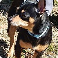 Adopt A Pet :: Rocky(10 lb)Perfect Family Pet - SUSSEX, NJ