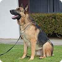 German Shepherd Dog Dog for adoption in Mira Loma, California - Kingston